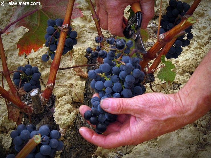 Vendimiando en Rioja Alavesa