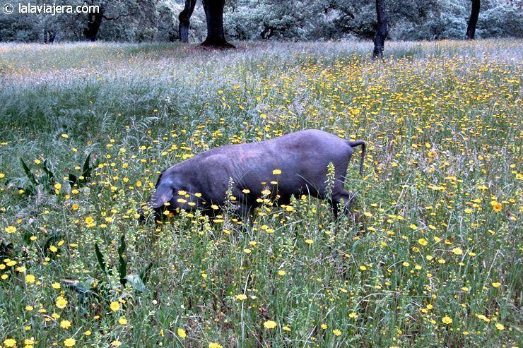 Cerdo ibérico en montanera alimentándose de bellotas