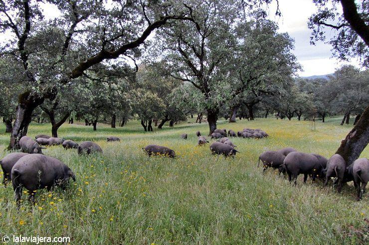 Dehesa de cerdo ibérico en la Sierra de Aracena, Huelva