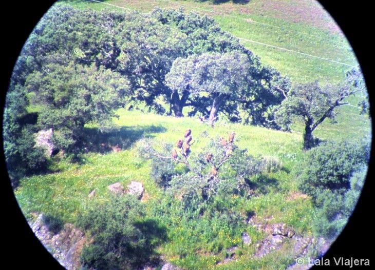 Buitres leonados mirador Bajo de Jadraga Sevilla
