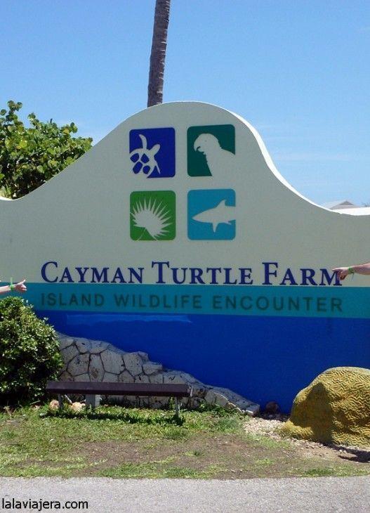 Cayman Turtle Farm, el parque temático de tortugas marinas