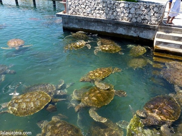 Granja de tortugas marinas, Gran Caimán