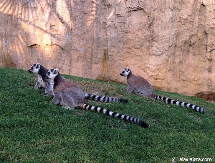 Lemures de Madagascar en el Bioparc de Valencia