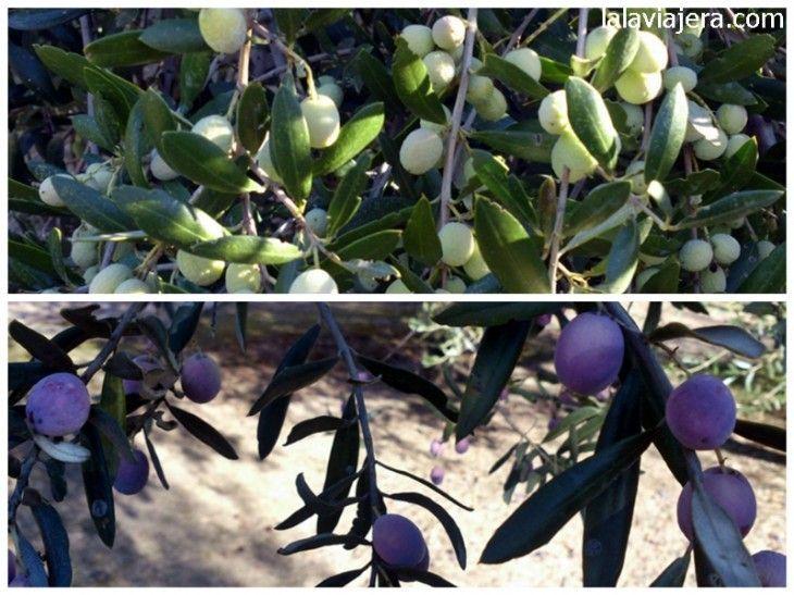 Jardín de variedades de aceitunas en el Museo del Olivo
