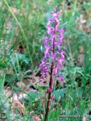 Orquidea Orchis Langei
