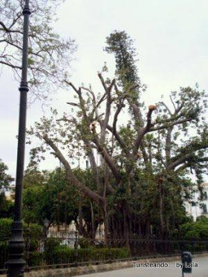 Ficus Piazza Marina, Palermo
