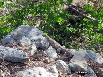 iguana parque eco arqueologico Dzibilchaltun, yucatan