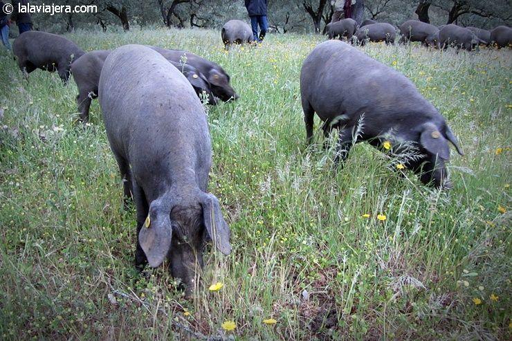 Dehesa de cerdo ibérico, Ruta del Jabugo