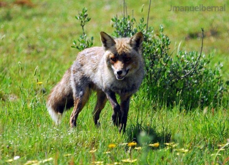 Lobo ibérico en Doñana