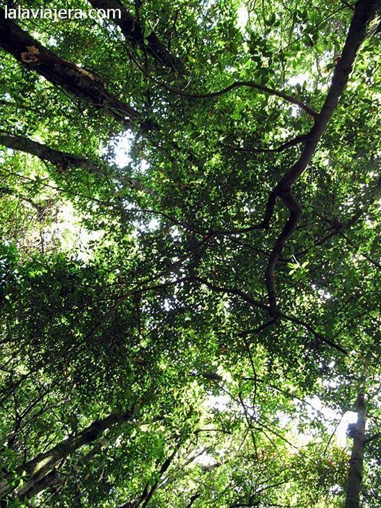El bosque de laurisilva de Garajonay data de la Era Terciaria