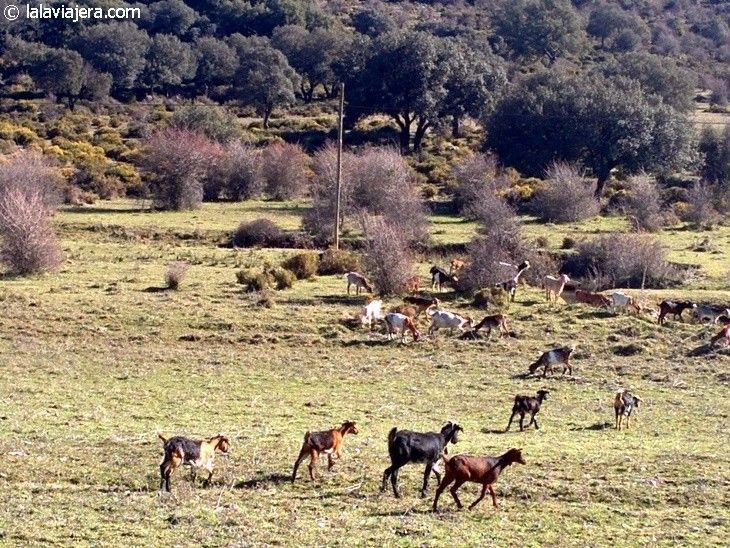Cabras payoyas autóctonas de la Sierra de Cádiz