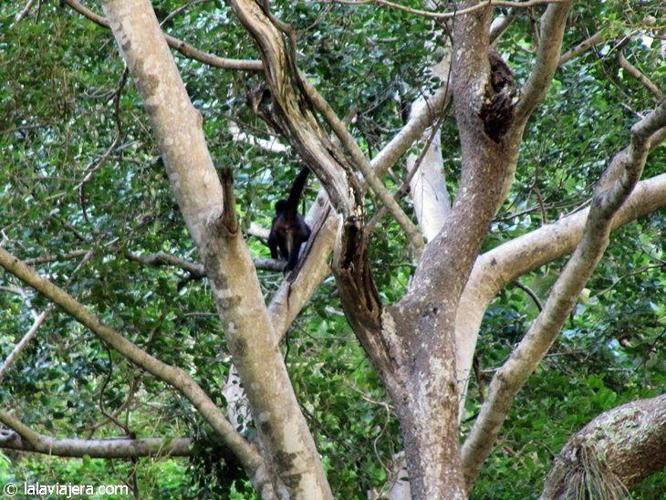 Monos aulladores en el Cañón del Sumidero