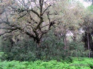 Bosque Coto Rey, Raya Real Donana
