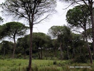 Pinares Bosque Mediterraneo Donana