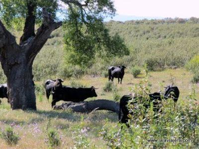 Vacas Parque Natural Tajo Internacional