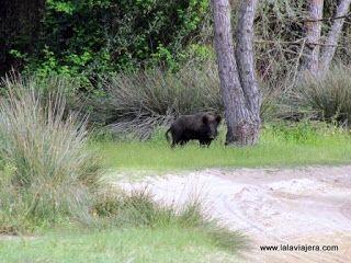 Jabali Parque Nacional Donana