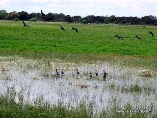 Aves Acuaticas Migratorias, Marismas Donana